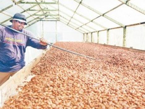 cacaocultores